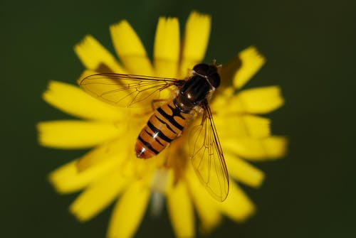 Black and Yellow Honey Bee on Yellow Petaled Flower during Daytime]