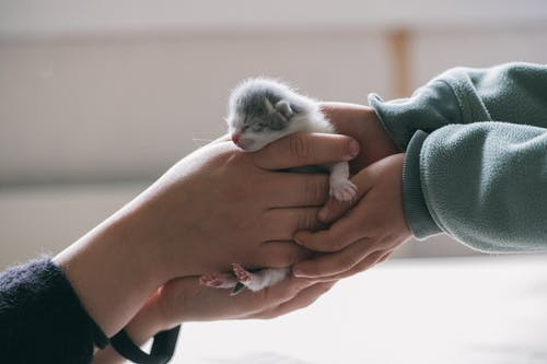 White and Gray Kitten on Persons Hand