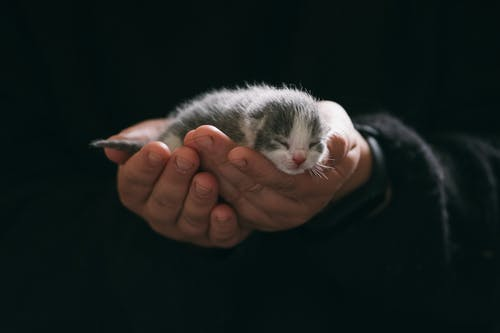 Person Holding White and Gray Kitten