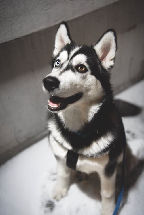 Adult Siberian Husky Selected Focus