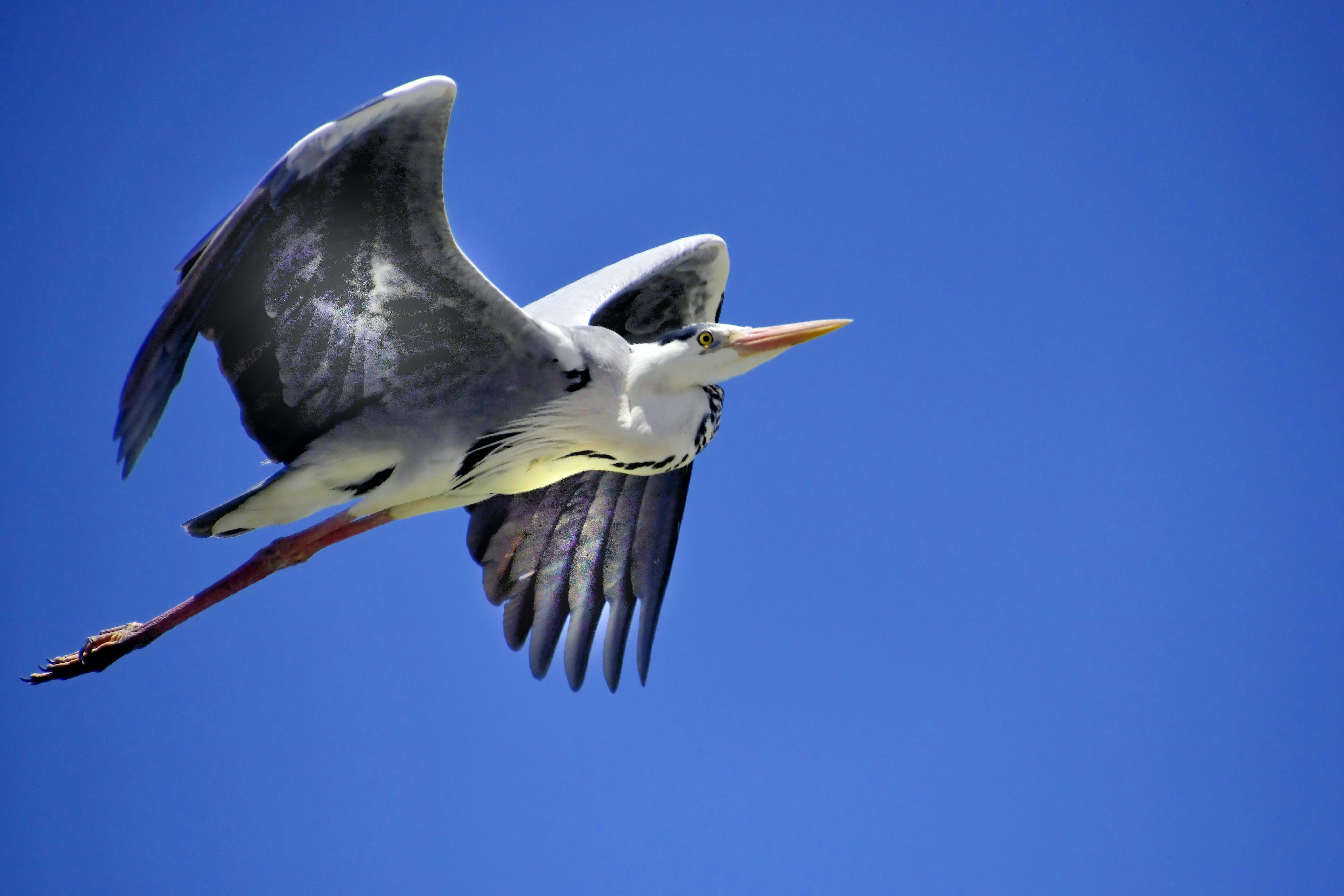 Free stock photo of bird, wild bird, coastal bird, bird in flight
