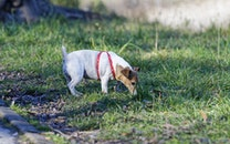 Tan and White Jack Russell Terrier Stand on Green Grass at Daytime