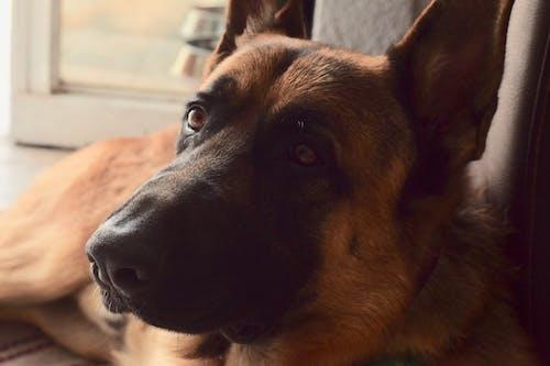 Kostnadsfri bild av djurfotografi, hund, jägare, nikon