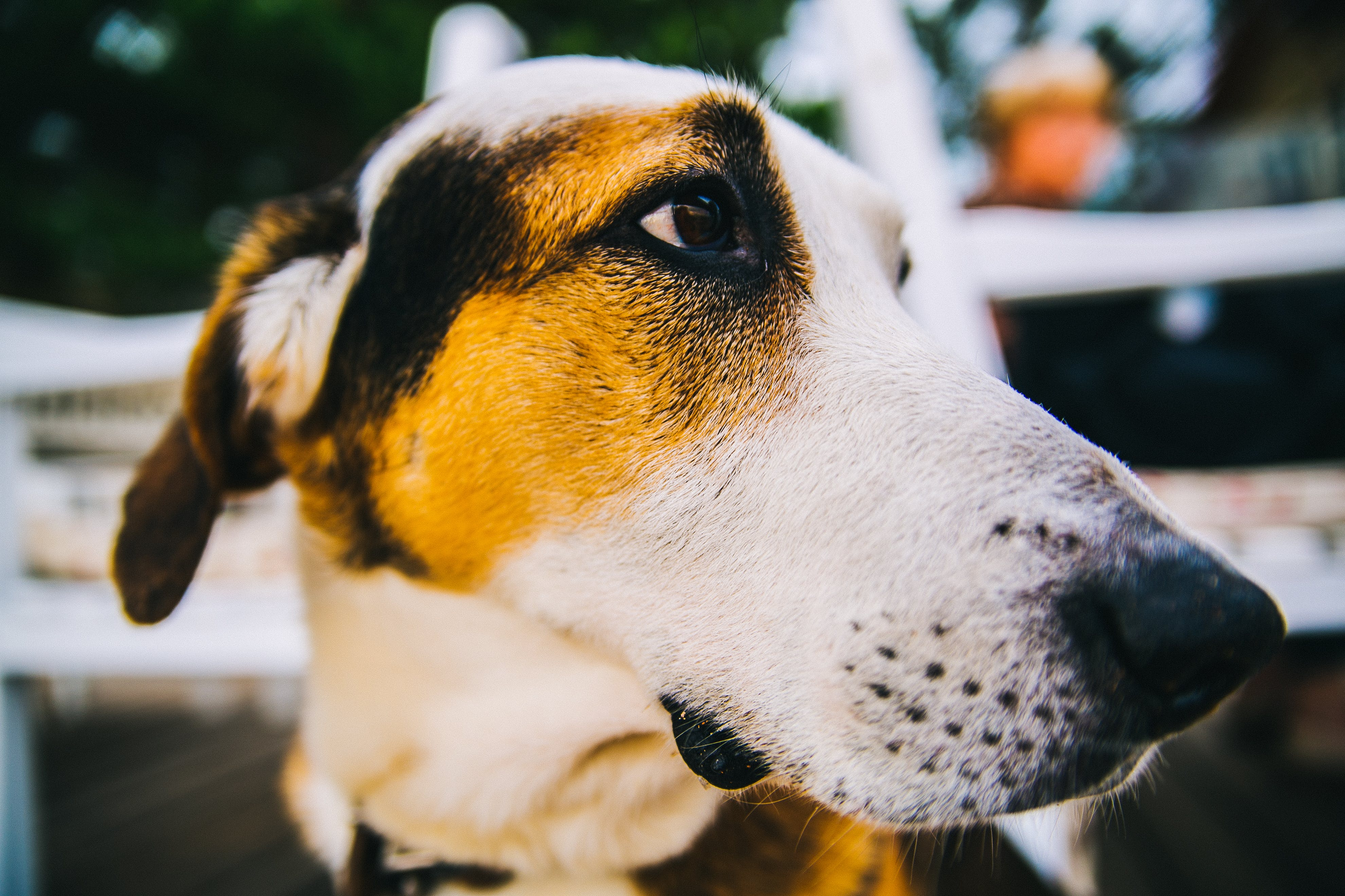 Tricolor Short-coated Dog in Close Up Photography