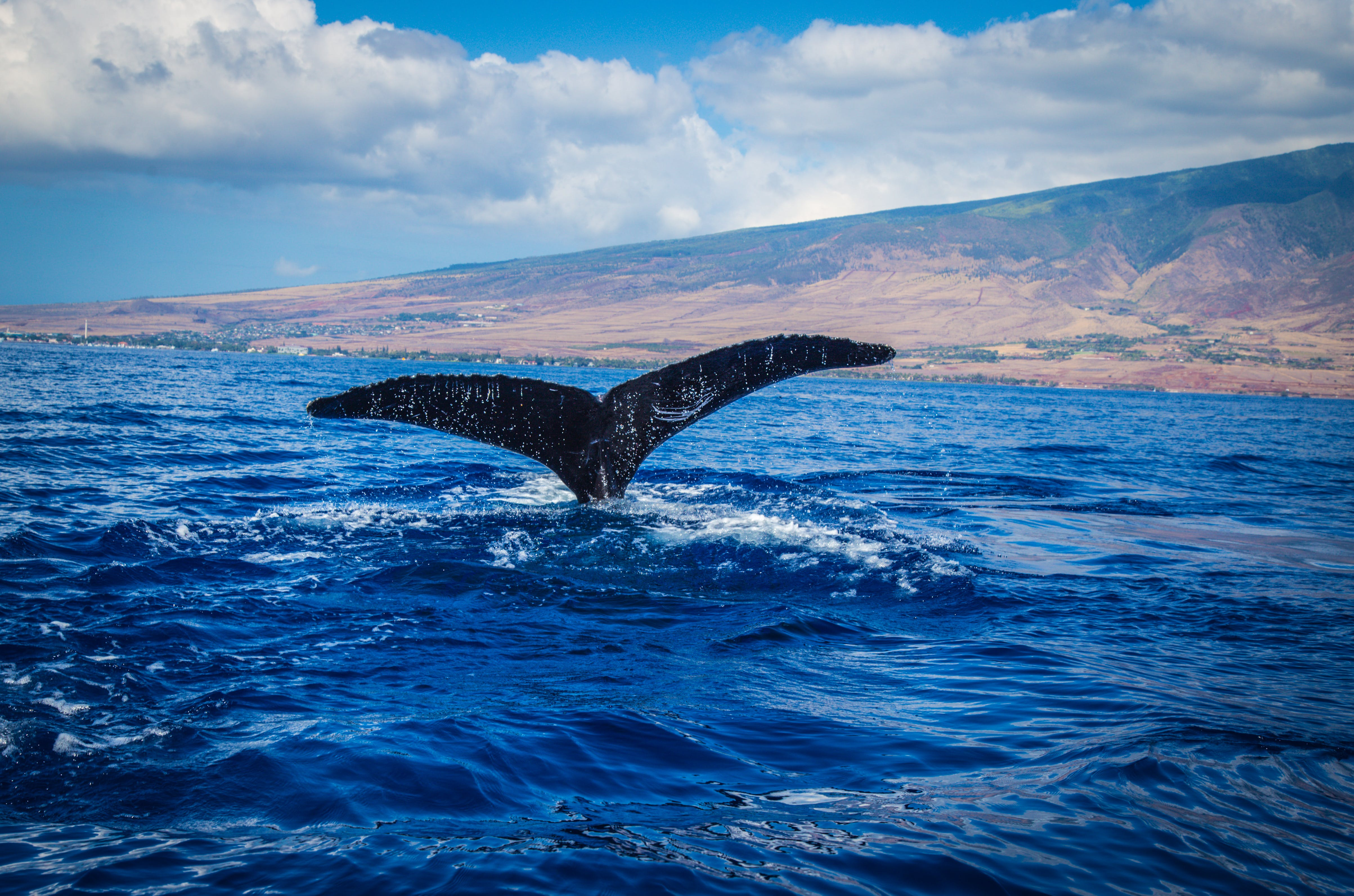 Free stock photo of hawaii, ocean, tail, whale