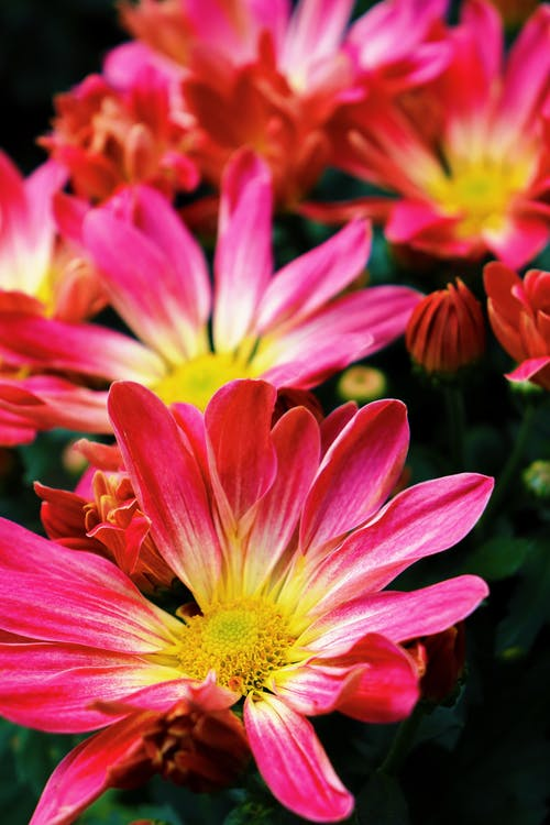 Macro Photography of Blooming Pink Flowers