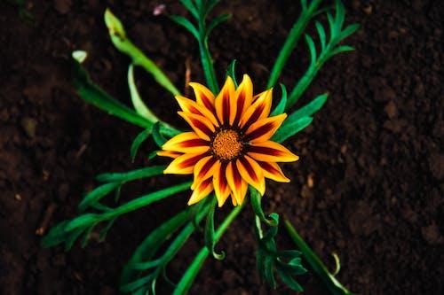 Бесплатное стоковое фото с желтый цветок, крупный план, макросъемка