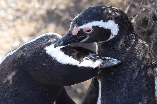 Close-Up Photo of Two African Penguins