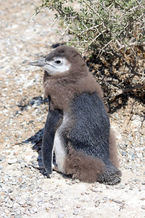 Close-Up Photo of a Cute African Penguin