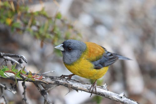 Close-Up Photo of Yellow Finch Perched on a Branch