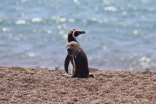 Shallow Focus Photo of a Cute African Penguin on Sand
