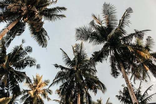 Imagine de stoc gratuită din arbore, cocotieri, natură, nucă de cocos