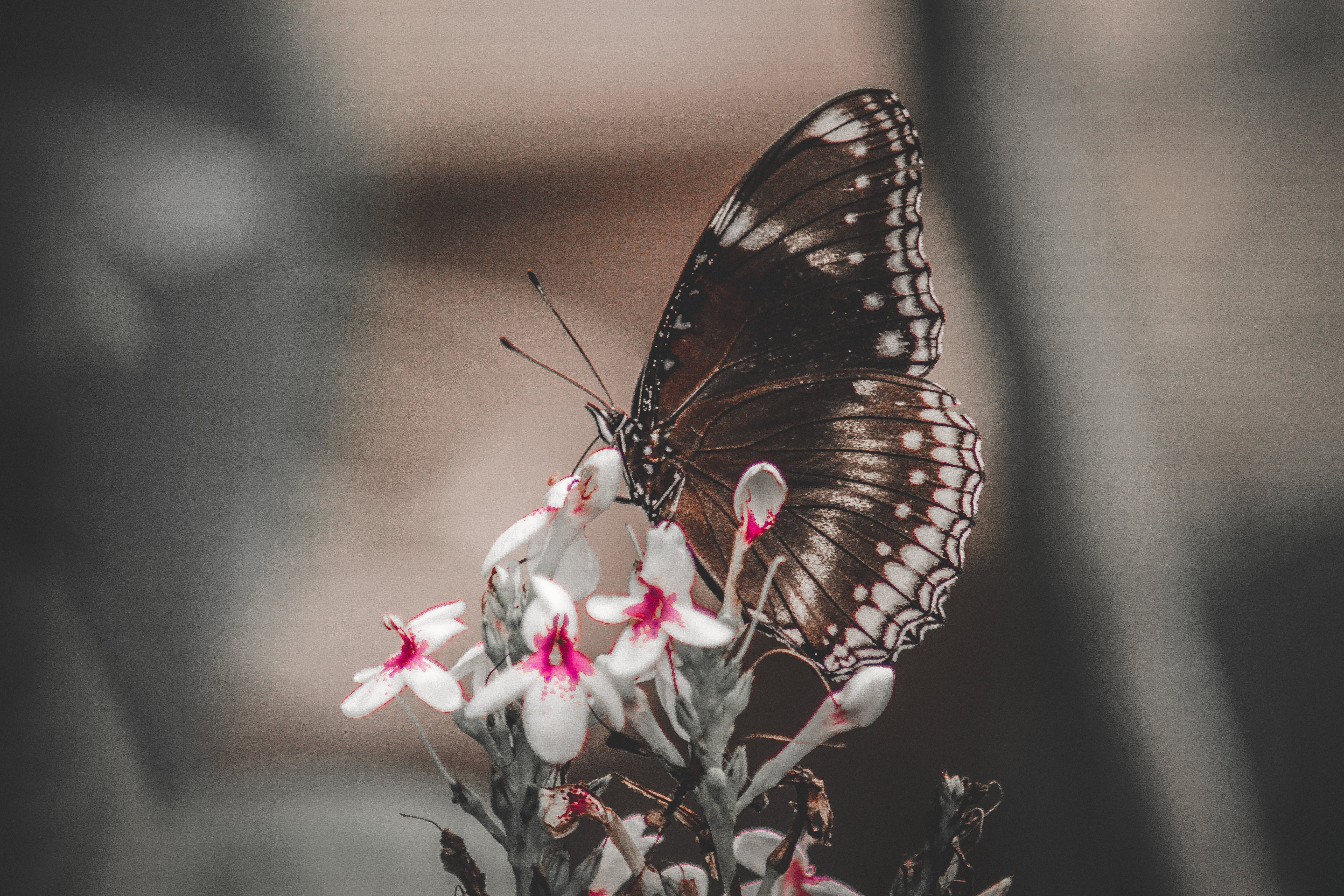 Butterfly On White Petaled Flowers