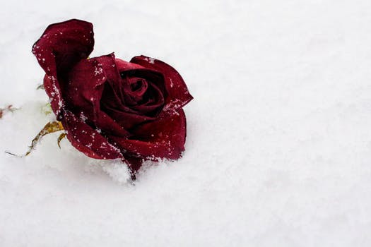 Umbrella lot free stock photo - Rose in snow wallpaper ...