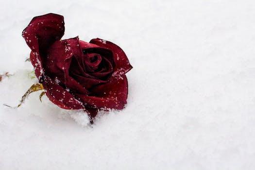 Rosa roja en la nieve