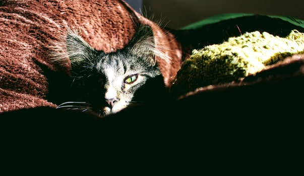 Closeup Photo of Silver Tabby Cat on Red Textile