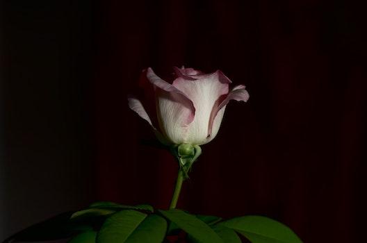 Free stock photo of rose, dark rose