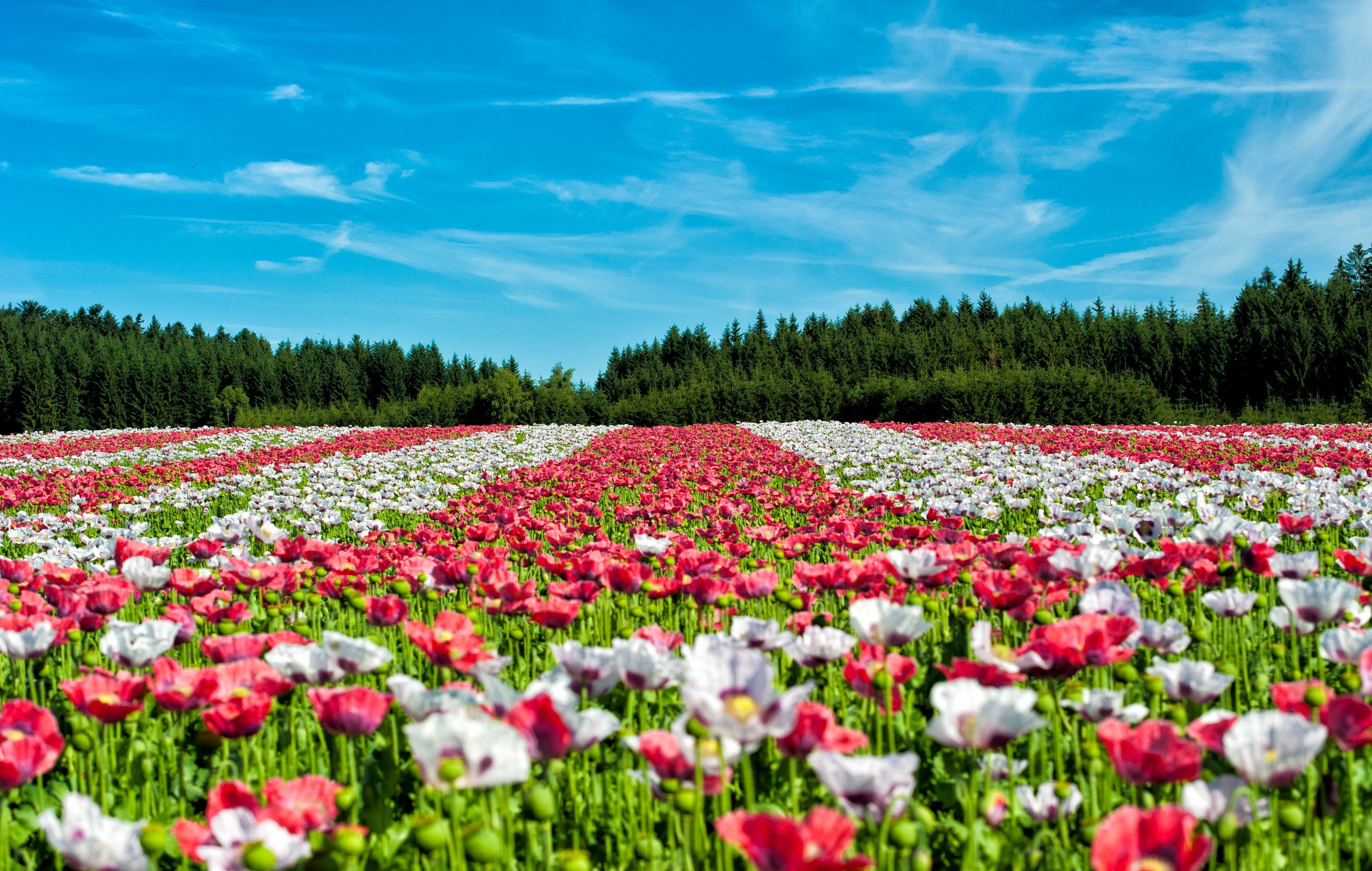 Red and White Flowers Under Blue Sky during Daytime