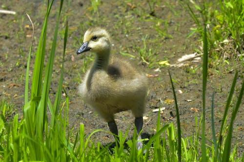 Free stock photo of avian, bird, canada goose