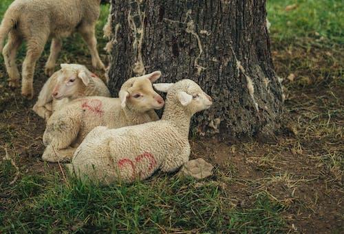 Herd of Sheep Lying Down near the Tree