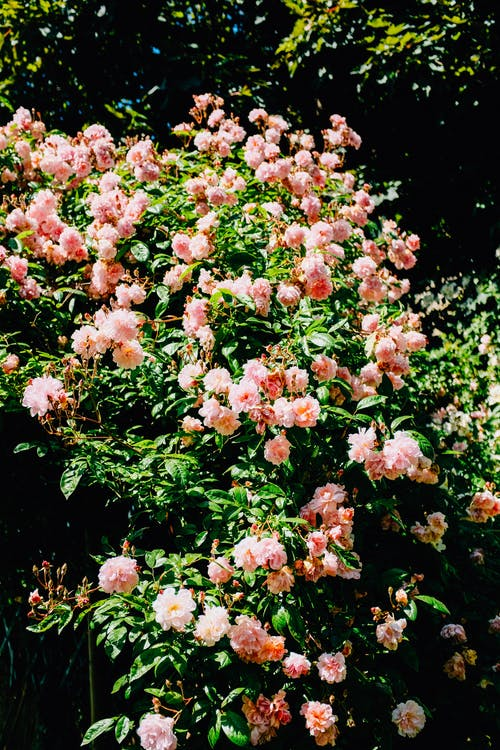 Fotobanka sbezplatnými fotkami na tému alpská ruža, botanický, exteriéry