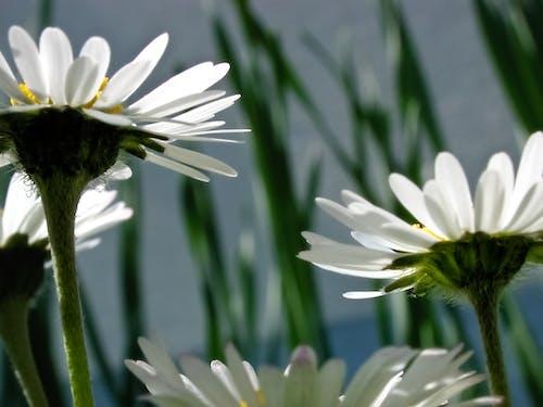 Foto d'estoc gratuïta de blanc, flor, flora, florir