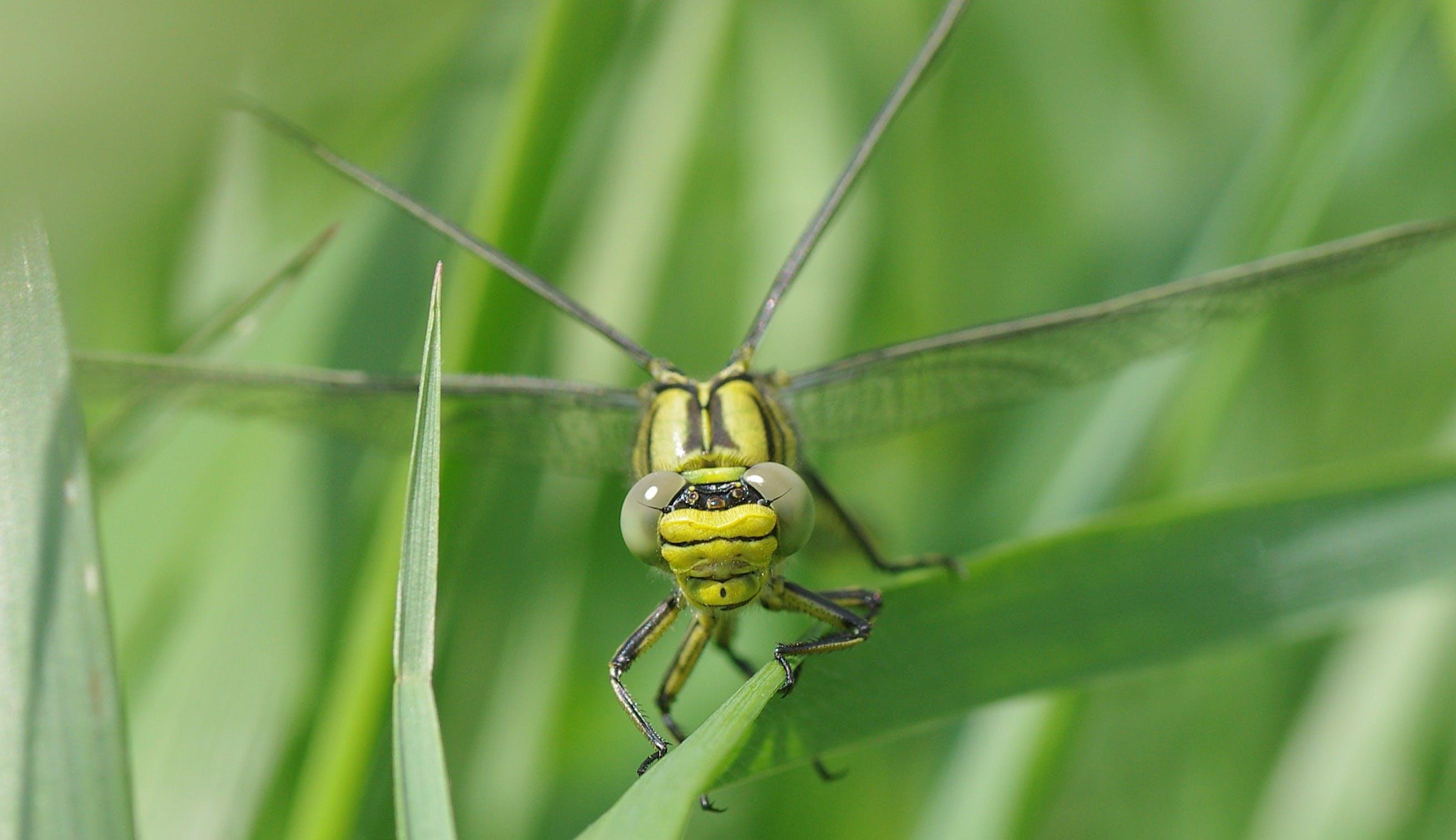 Gratis lagerfoto af close-up, grøn, guldsmed, insekt