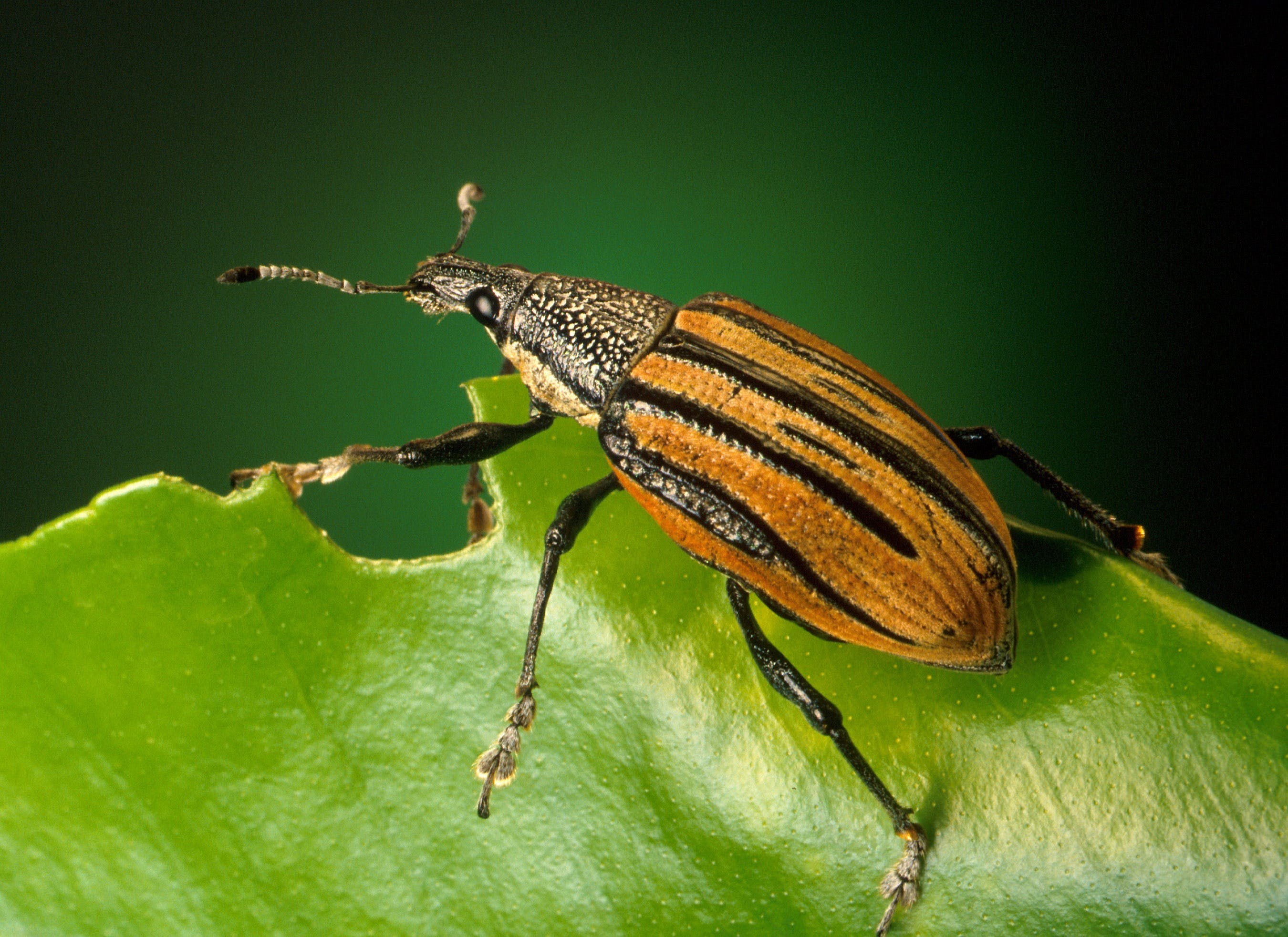 Black and Brown Insect on Green Leaf