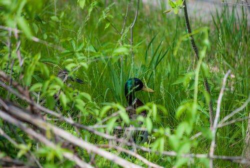 Free stock photo of cute, ducks, grass