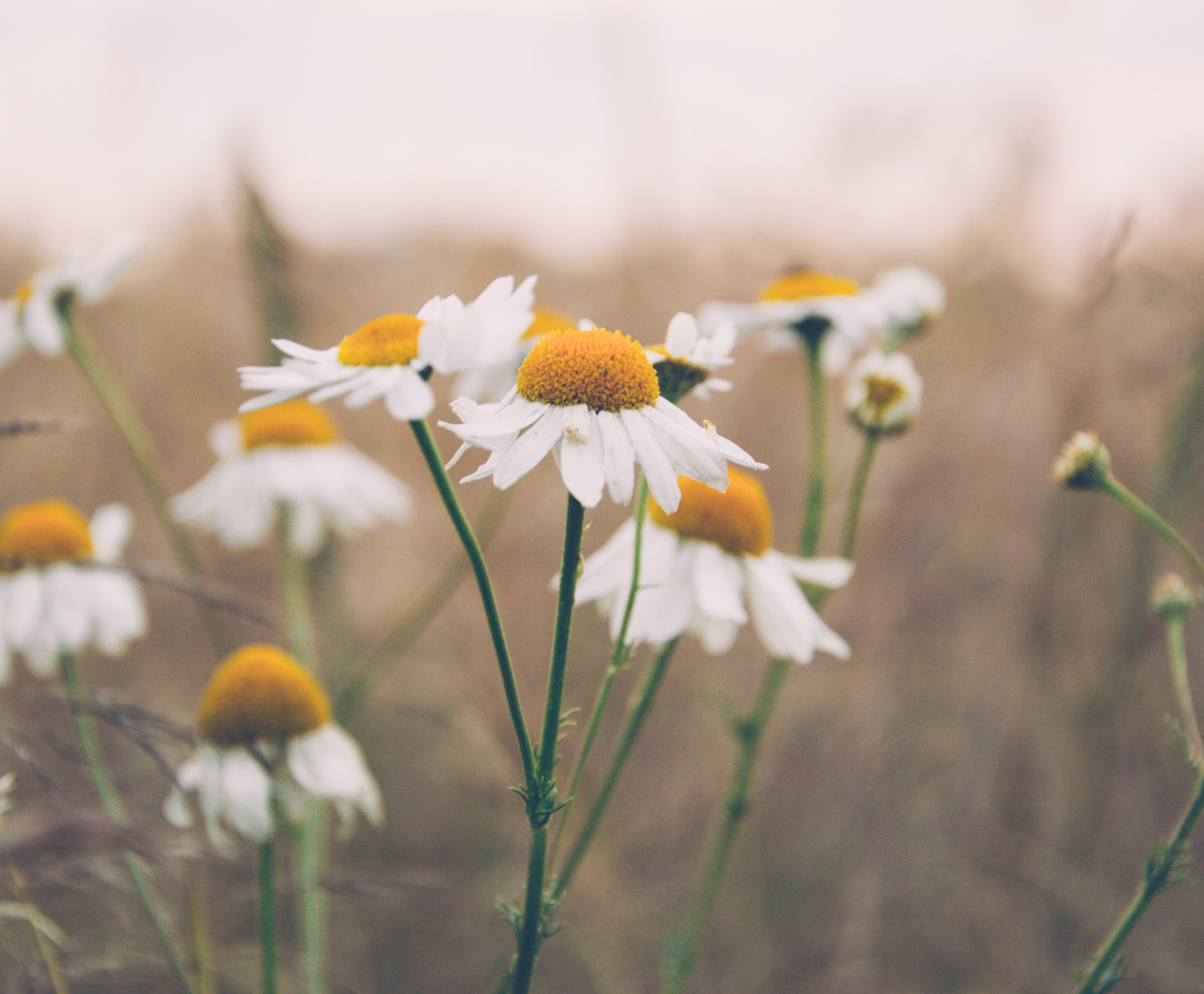 Free stock photo of camomile, field