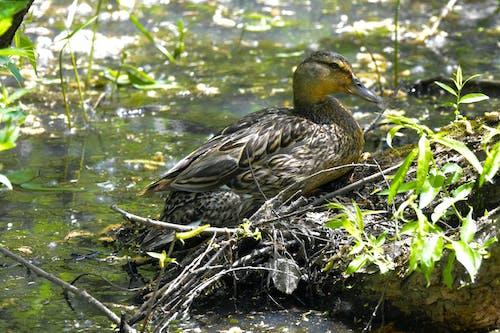 Free stock photo of avian, bird, duck