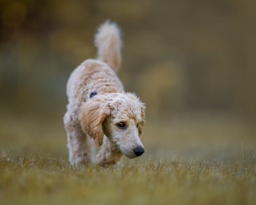 A Brown Dog Running on the Grass