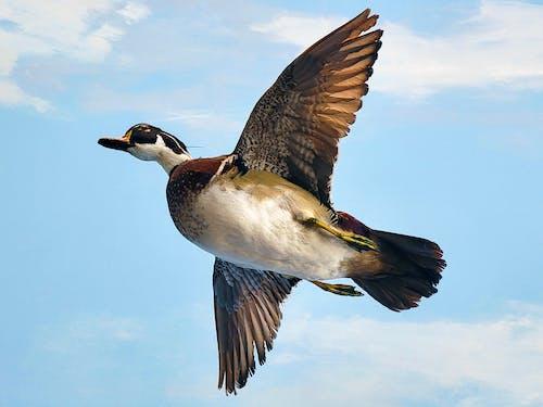 Free stock photo of bird, duck, duck hunting