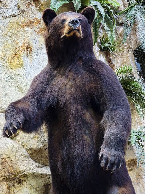Free stock photo of animals hunting, bear, black bear