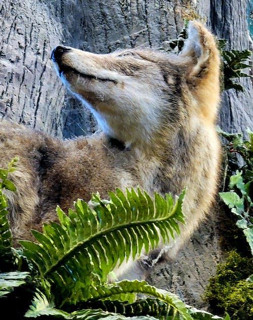 Free stock photo of animals hunting, brown fox, fox