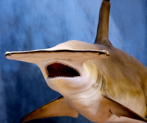 Free stock photo of blue ocean, danger, fish