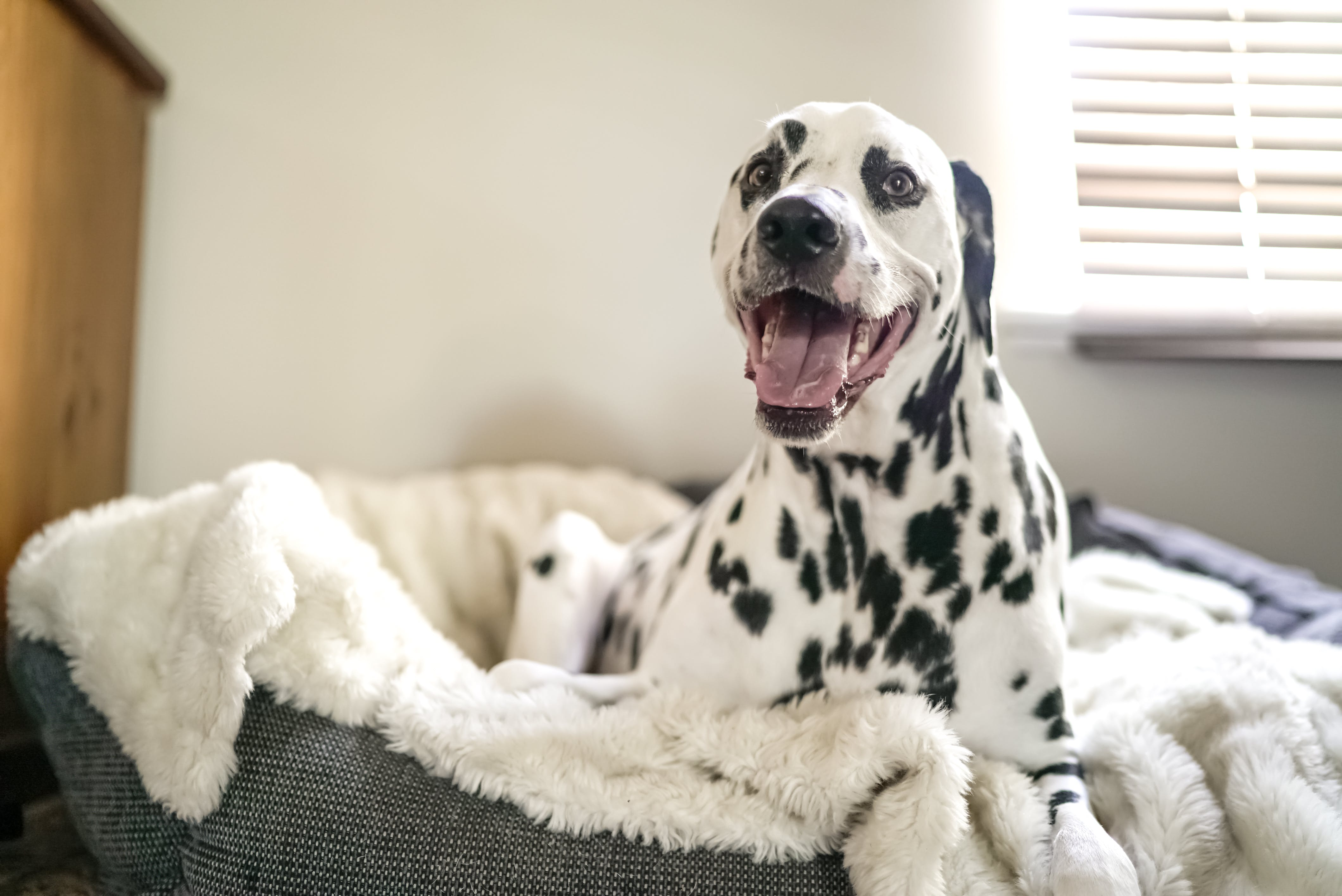 Dalmatian on Pet Bed