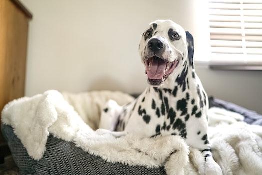 Dalmatian on Pet Bed