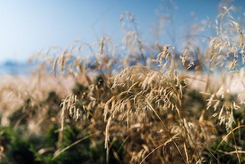 Бесплатное стоковое фото с дневное время, зерновые, небо, облака
