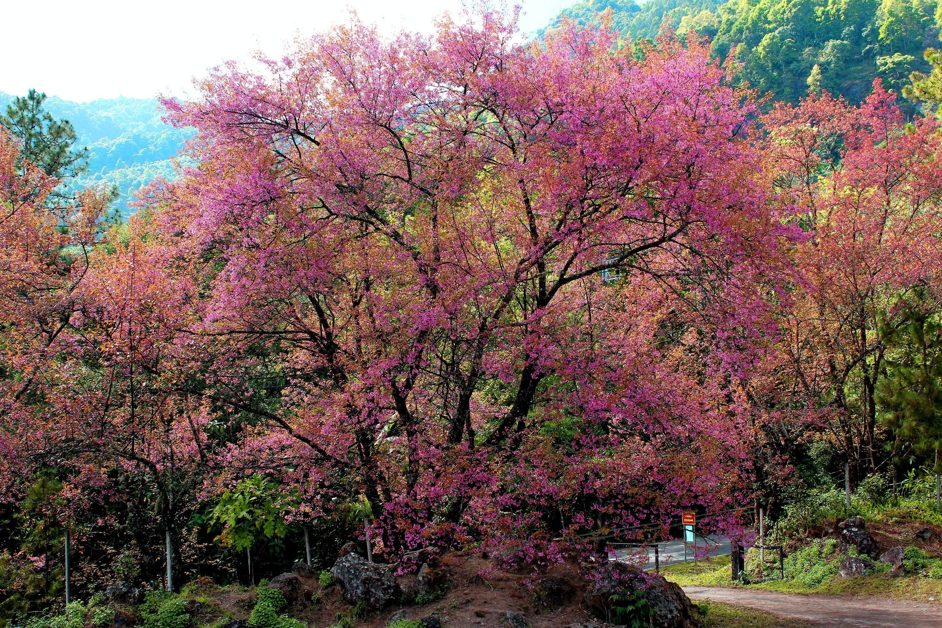 Darmowe zdjęcie z galerii z chiang mai, drzewa, drzewo, flora