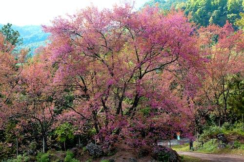 Foto d'estoc gratuïta de arbre, arbres, branques, Chiang Mai