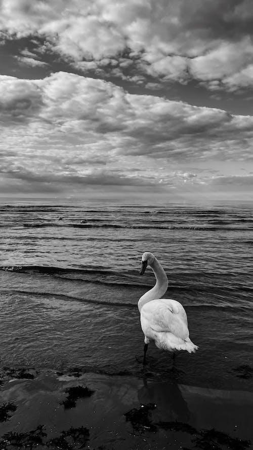 Grayscale Photo of Swan on Sea