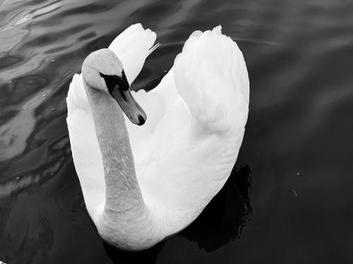 White Swan on Water in Grayscale Photography