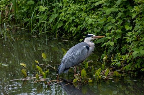 A Blue Heron Bird on Water