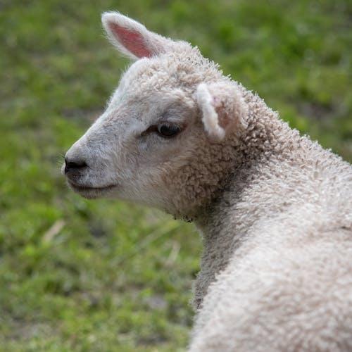 Gratis stockfoto met baby, baby schapen, baby'tje
