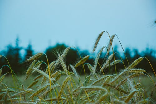 小麥, 田 的 免費圖庫相片