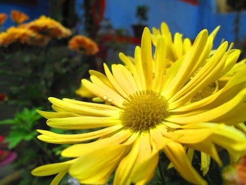 çiçek, çiy damlası, sarı içeren Ücretsiz stok fotoğraf