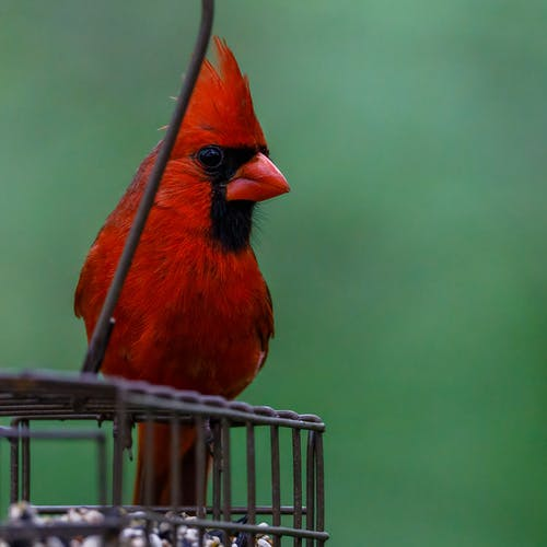 Selective Focus Photo of a Northern Cardinal Bird Perched on a Feeder