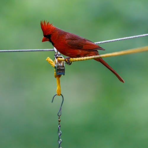 Close-Up Photo of a Northern Cardinal Bird Perched on a Yellow Rope