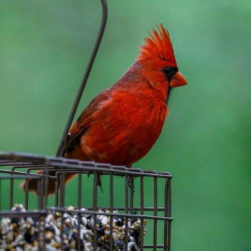 Photo of a Red Northern Cardinal Bird